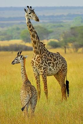 from Ronnie pink giraffe gay videos