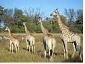 safaris Gay african
